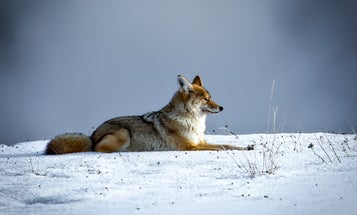 Beginner Tips for Coyote Hunting