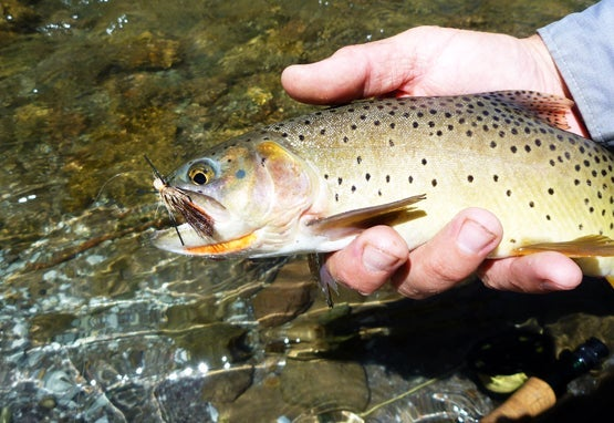A fisherman holds a Snake River cutthroat