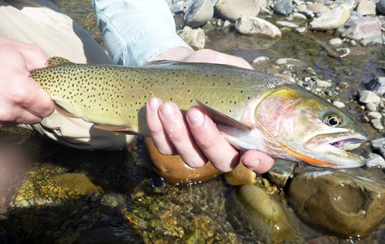 fly fisherman catches a Yellowstone cutthroat trout