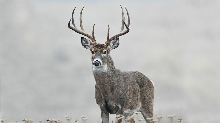 Huge 8-point buck