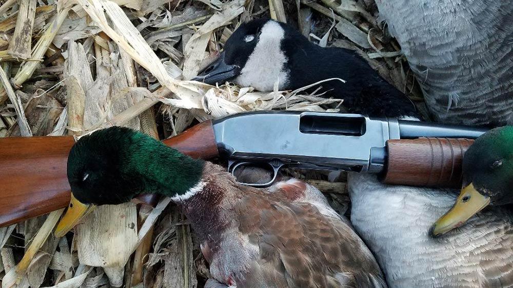 green headed mallard duck laying beside winchester model 12 shotgun