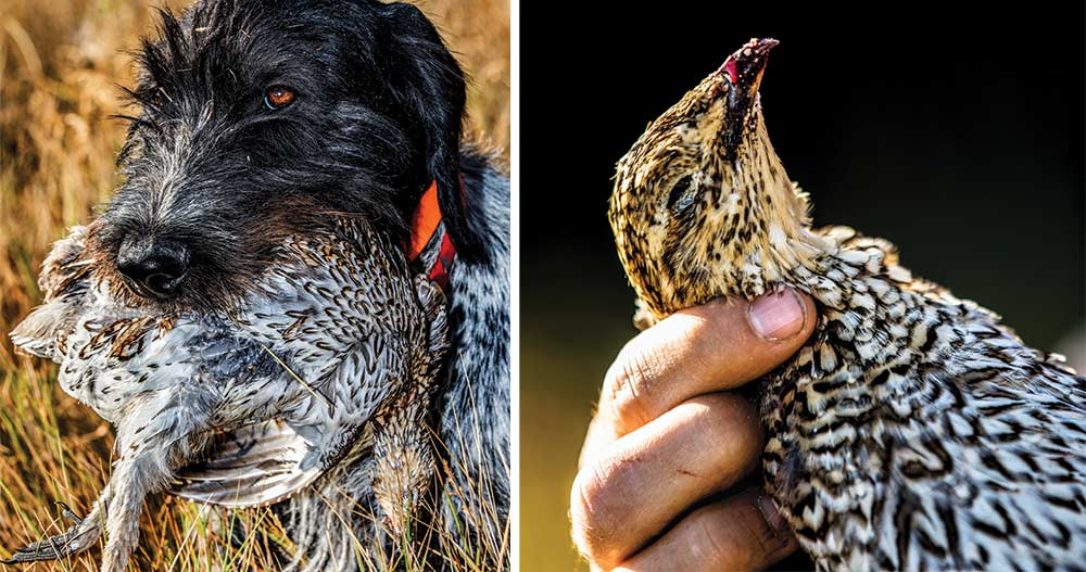 hunting dog with sharptail grouse