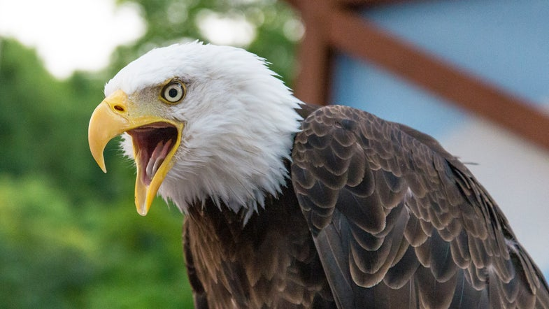 bald eagles, hunting cats, bald eagles hunting cats, cats,