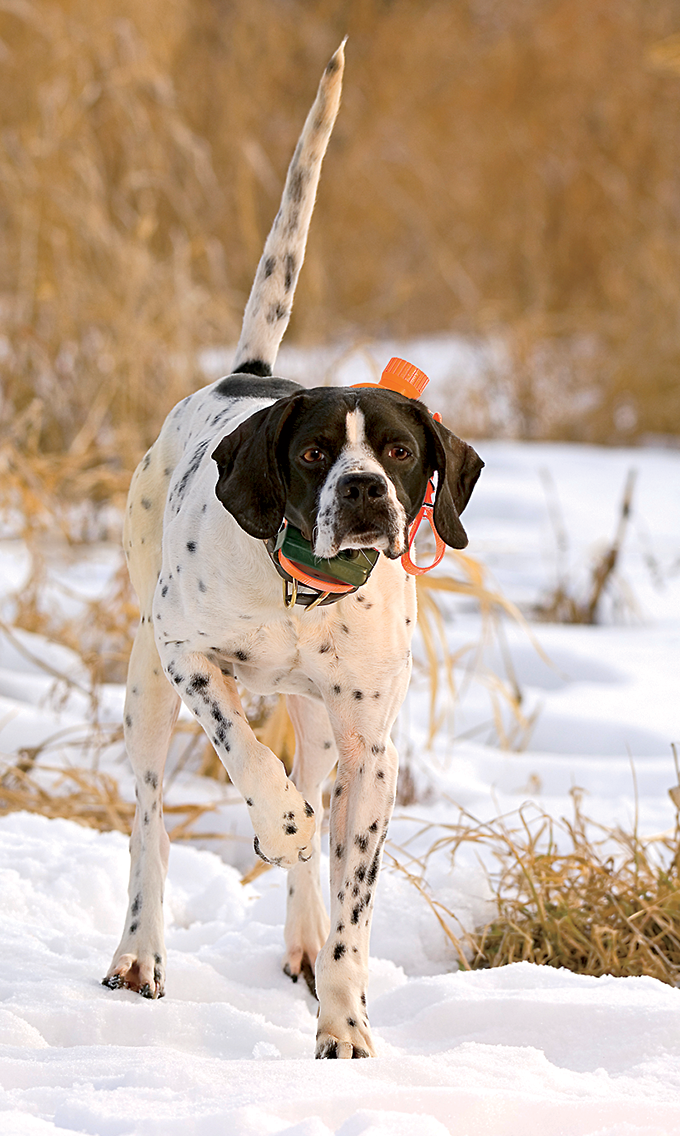 How to Protect Your Bird Dog From the Cold