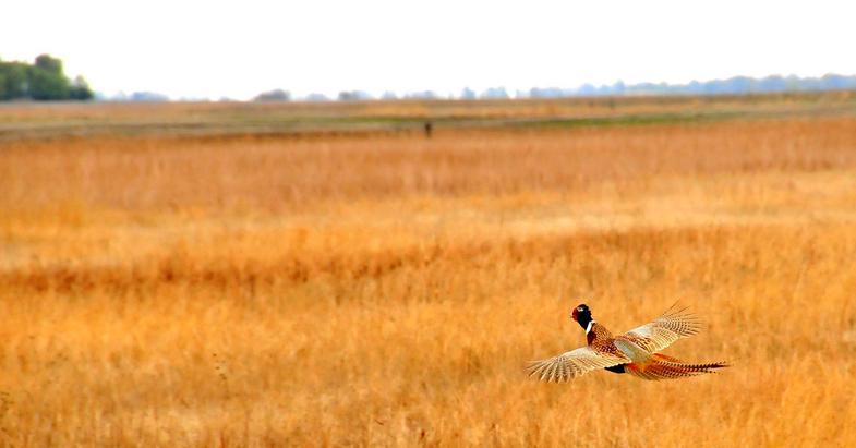 The Last Pheasant Hunt on a Favorite Farm