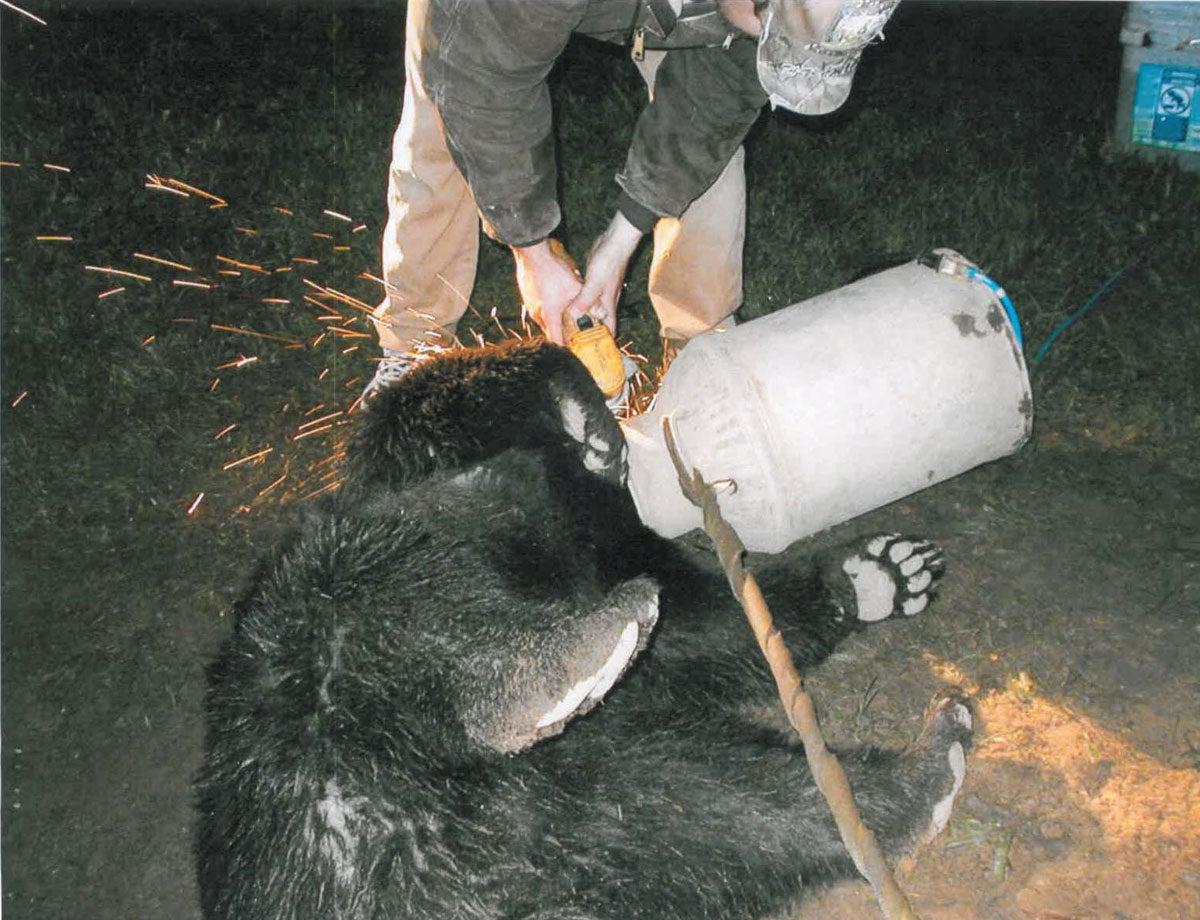 Black Bear's Head Gets Stuck In A Milk Jug
