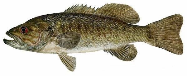 USGS Researchers: Male Bass Are Developing Female Reproductive Traits