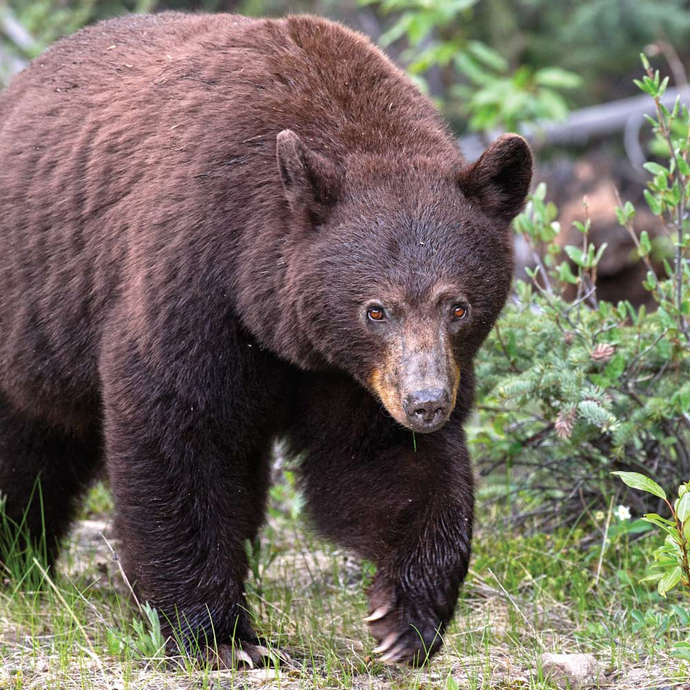 Idaho Spring Bear hunting