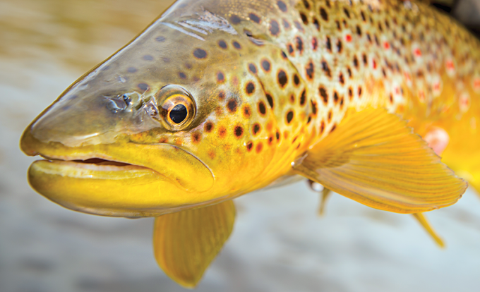 Top Trout Guides Share Their Tips, Tricks, and Insight