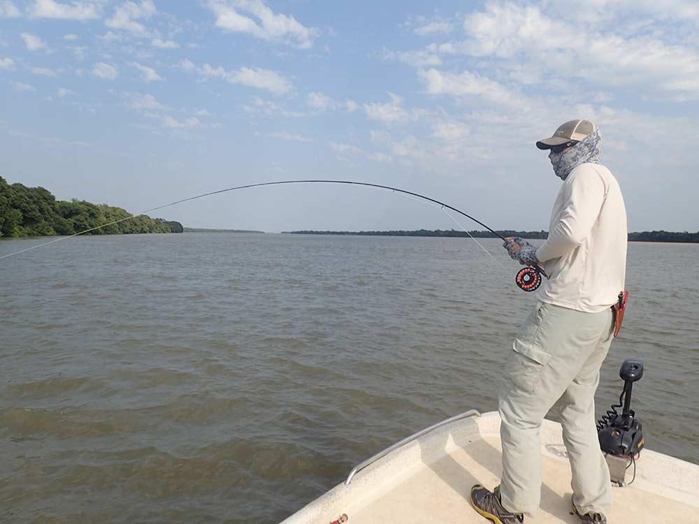 fisherman fighting a golden dorado on the parana river