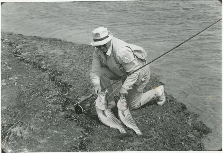 Black and white image of an angler with two large striped bass.
