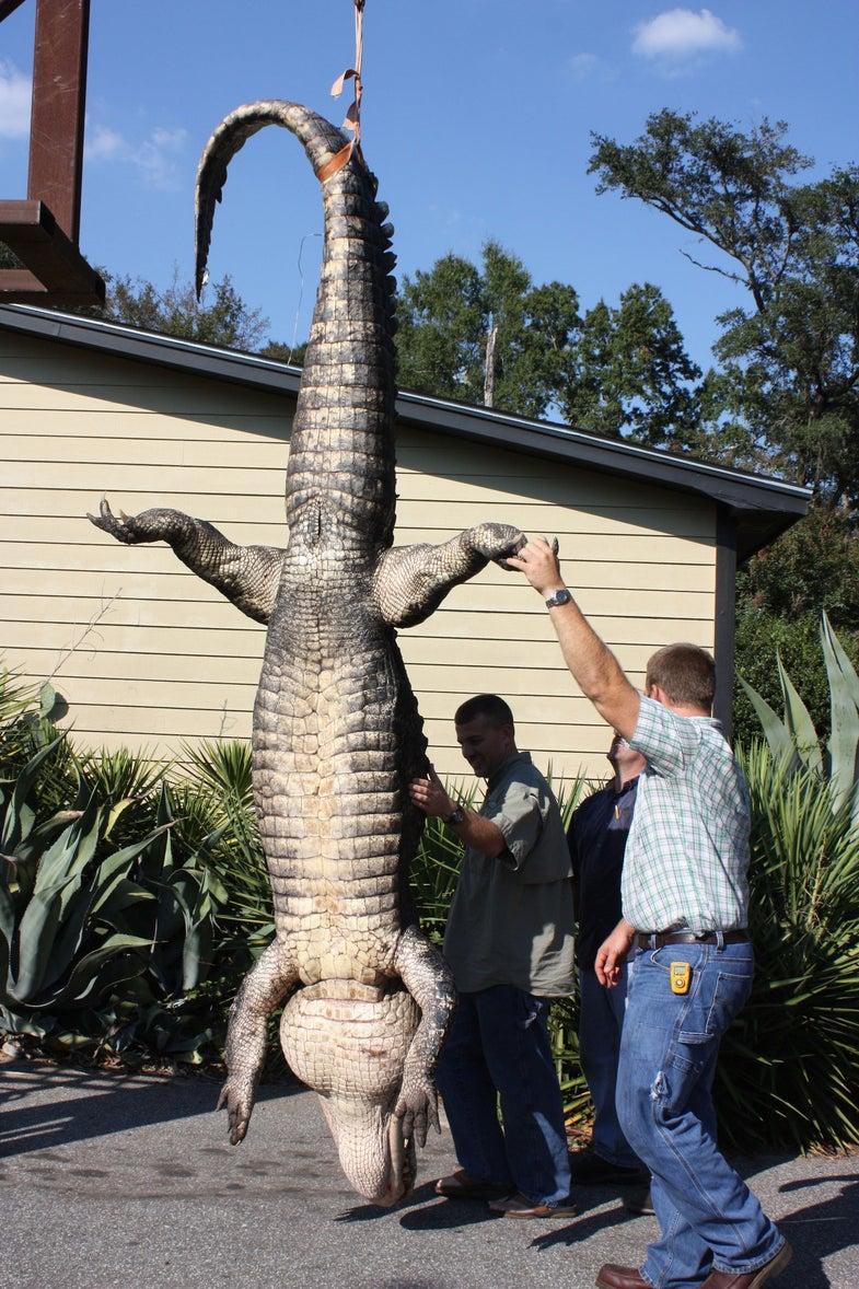 Three Gigantic Gators Killed In One Week in South Carolina & Georgia