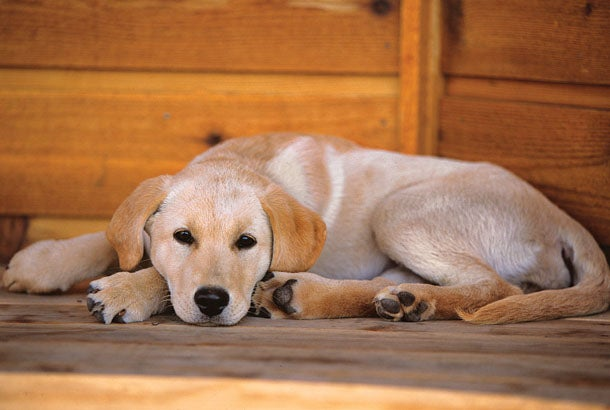 How to Train a Bird Dog in Your Living Room