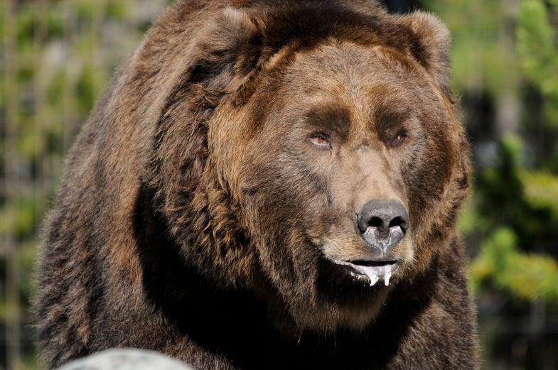 Grizzly Bear Kills Yellowstone Hiker
