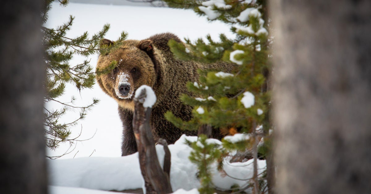 Western States Move Forward with Potential Yellowstone-area Grizzly Hunts