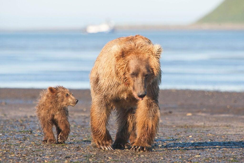 httpswww.fieldandstream.comsitesfieldandstream.comfilesimport2014importImage2011photo38356BARM_BearWars_Alaska_EXCL_022.jpg