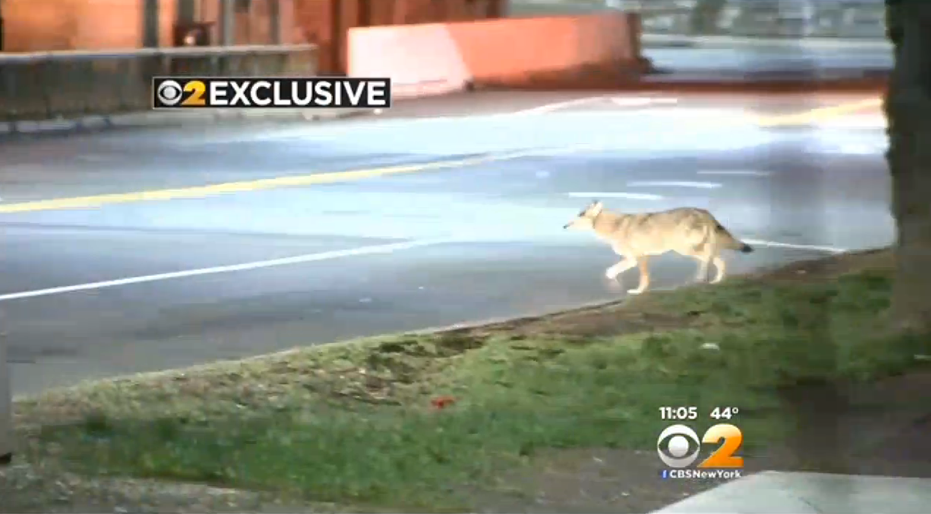 Bad Dogs: Coyote Evades NYC Police, Rabid Coyotes Found in New Jersey Neighborhood
