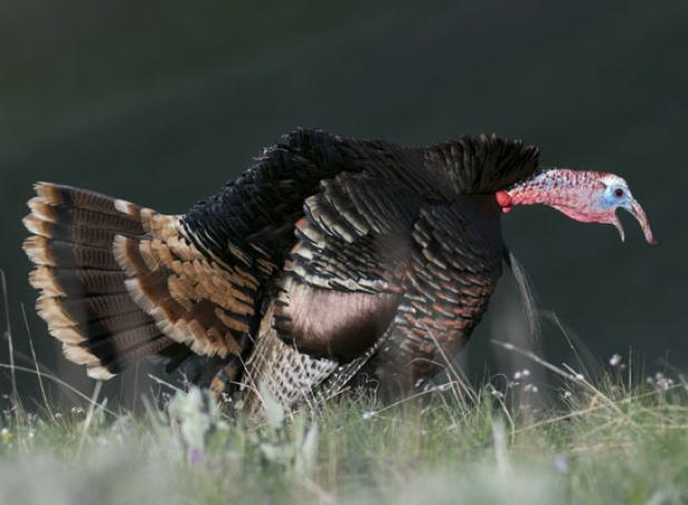 Tips For Tagging Tough Late-Season Toms: The Alpha Male