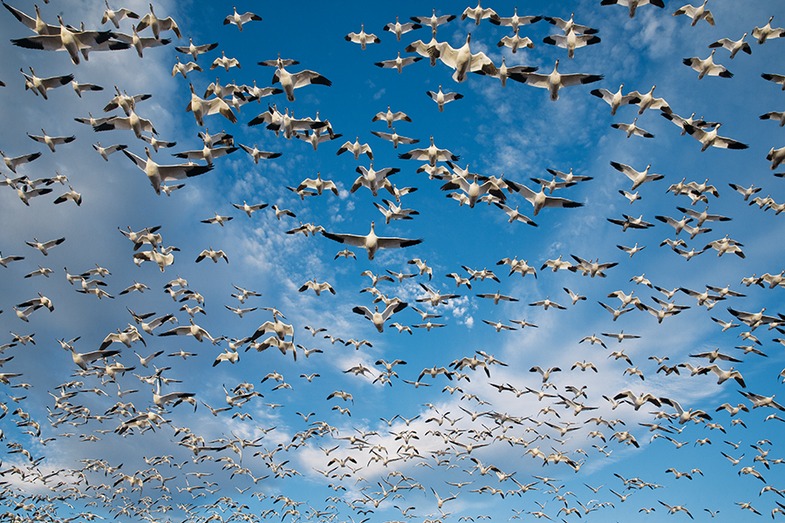 Spring Snow Goose Hunting: How to Hit More Birds