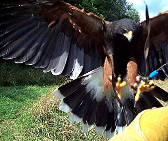 hunting pheasants with hawks
