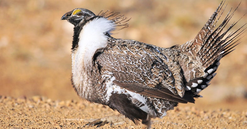 Sage Grouse Amendment Pulled from Defense Bill
