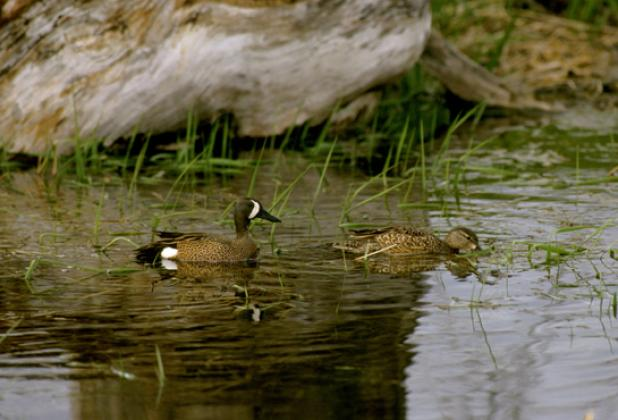 httpswww.fieldandstream.comsitesfieldandstream.comfilesimport2014importBlogPostembedFinding_Blue_Winged_Teal_Ducks.jpg