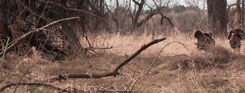 Video: How to Kill a Turkey With a Bow at 4 Steps