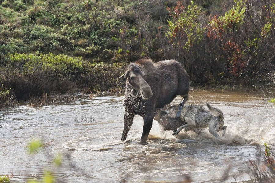 Moose Loses Calf to Pack of Wolves in Denali National Park