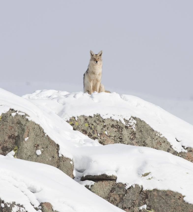Tip: Call In More Coyotes