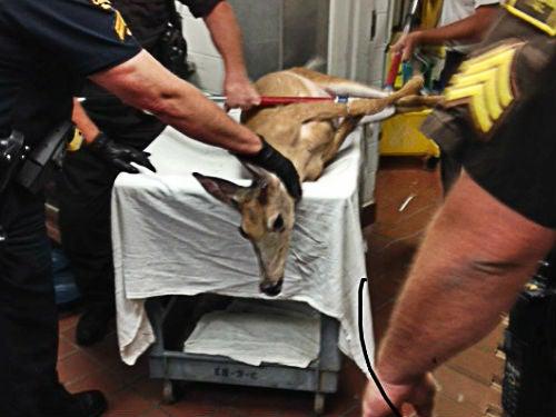 Injured Deer Walks into N.C. Hospital