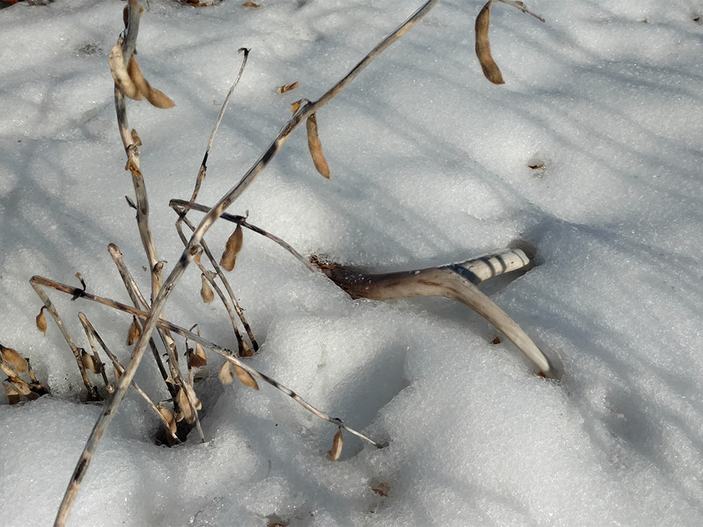 shed deer antler in snow