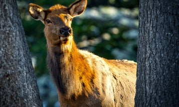Study: Why Old Cow Elk Are Nearly Impossible to Kill