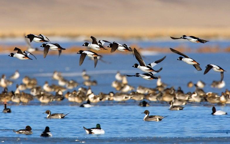 Waterfowl Tips: How to Hunt the Goldeneye Boom