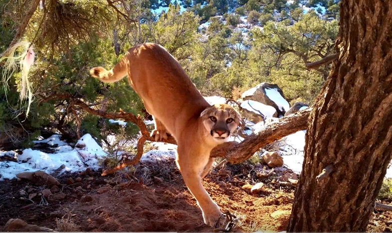 Video: Wildlife Officer Releases Large Cougar From Trap