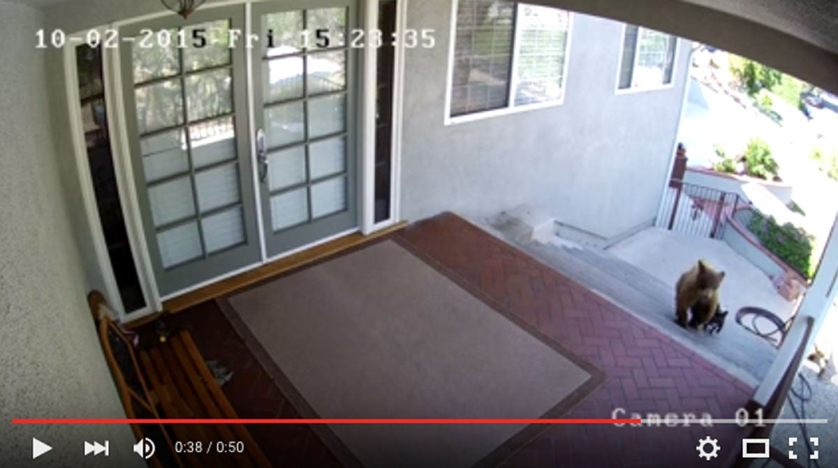 Video: French Bulldog Defends Home From Bears
