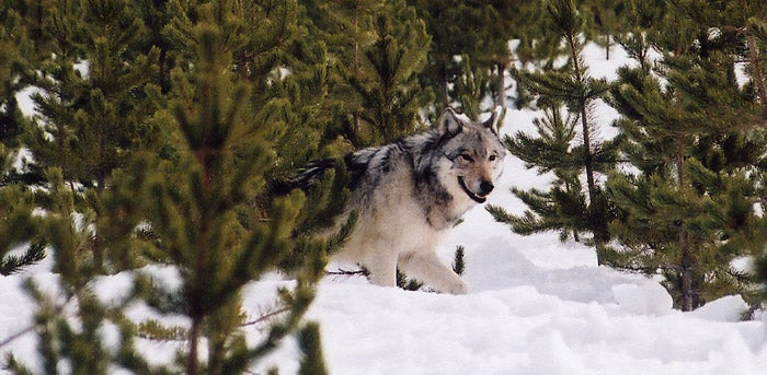 Federal Judge's Ruling Suspends Wyoming Wolf Season