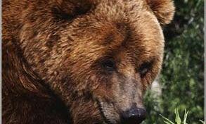 Brown Bears Will Kill