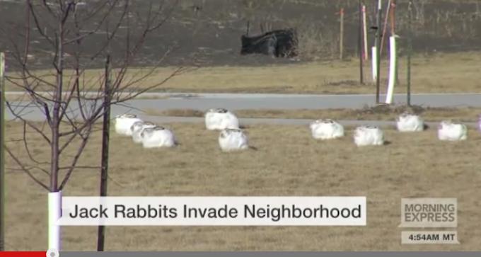 "Fargo Residents Struggling to Find Solution to Jackrabbit ""Invasion"""