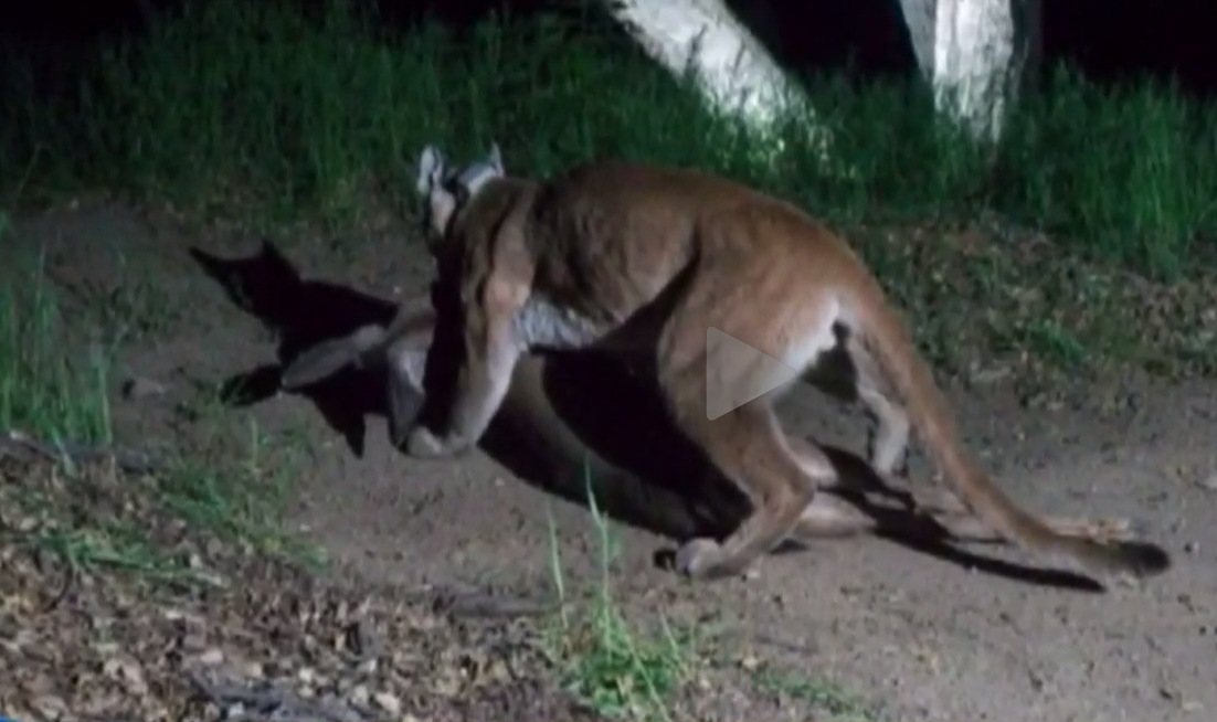 Video: Mountain Lion Drags Deer From Hiding Spot