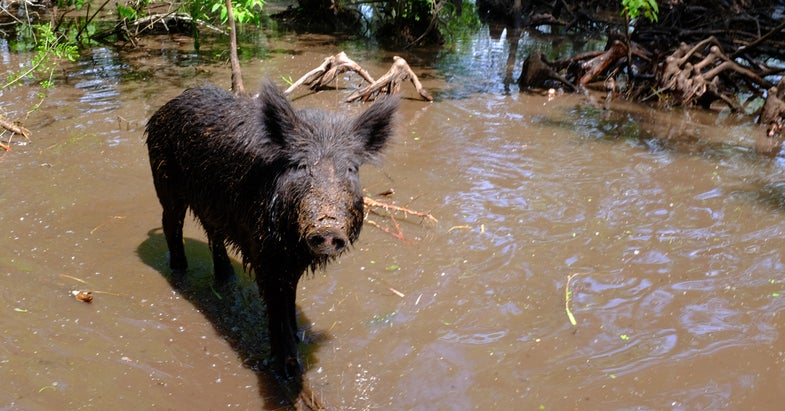 Local Law Enforcement To Shoot Feral Hogs in Florida County