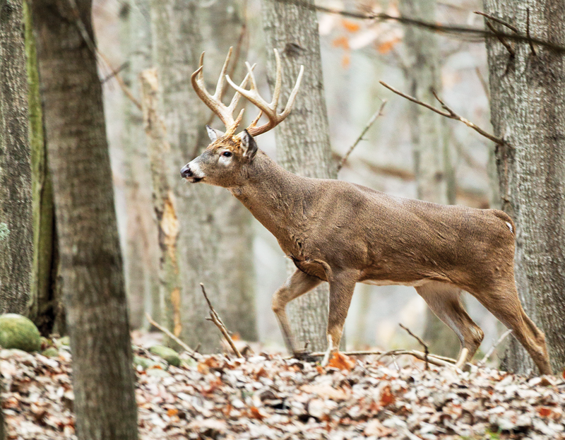 Take a good set of rattling antlers or a quality rattling bag to a stand in the middle of a doe bedding area.