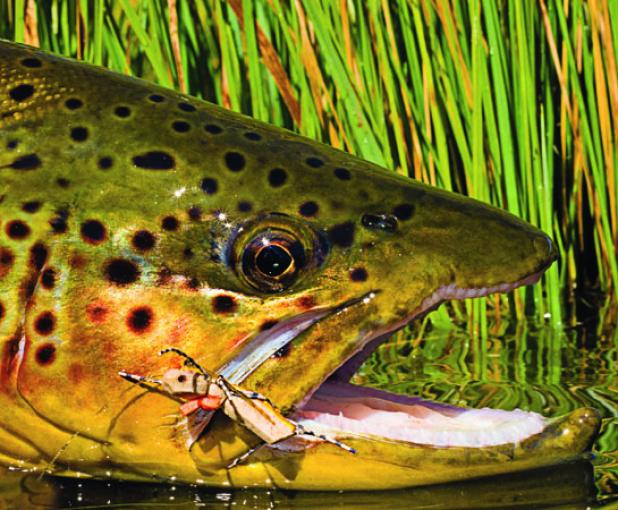 Catch Your Biggest Trout Using Grasshopper and Cricket Patterns