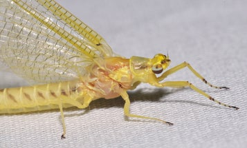 Researchers Hope to Restore Mayflies in Green Bay