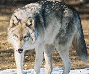 A Deer Hunter May Be First to Tag a Minnesota Timber Wolf