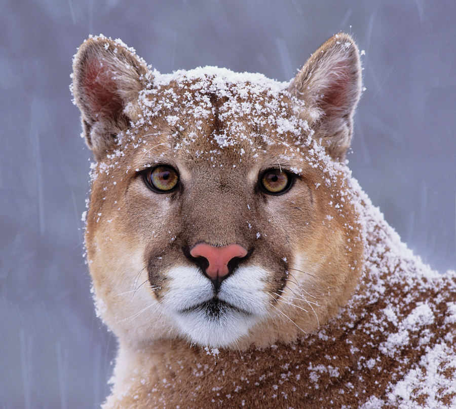 A mountain lion covered in snow.