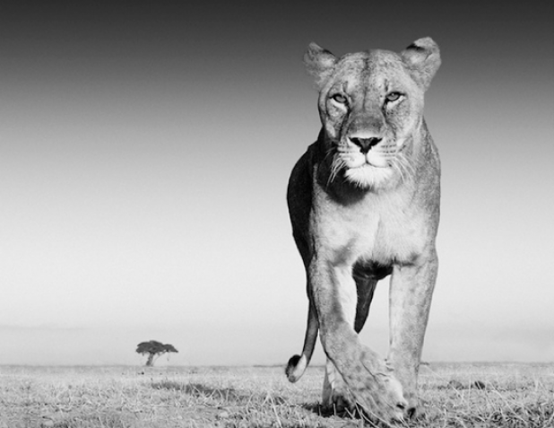 Photographer Lures Lions With Old Spice