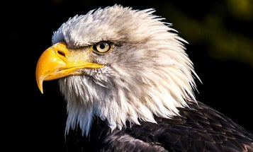 9 Wild Facts About the Bald Eagle
