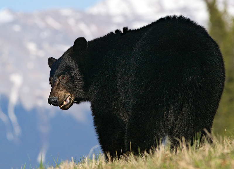 Nine Tips for Spot-and-Stalk Black Bear Hunting