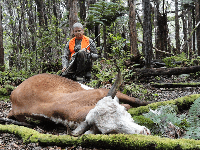 feral bull hunting