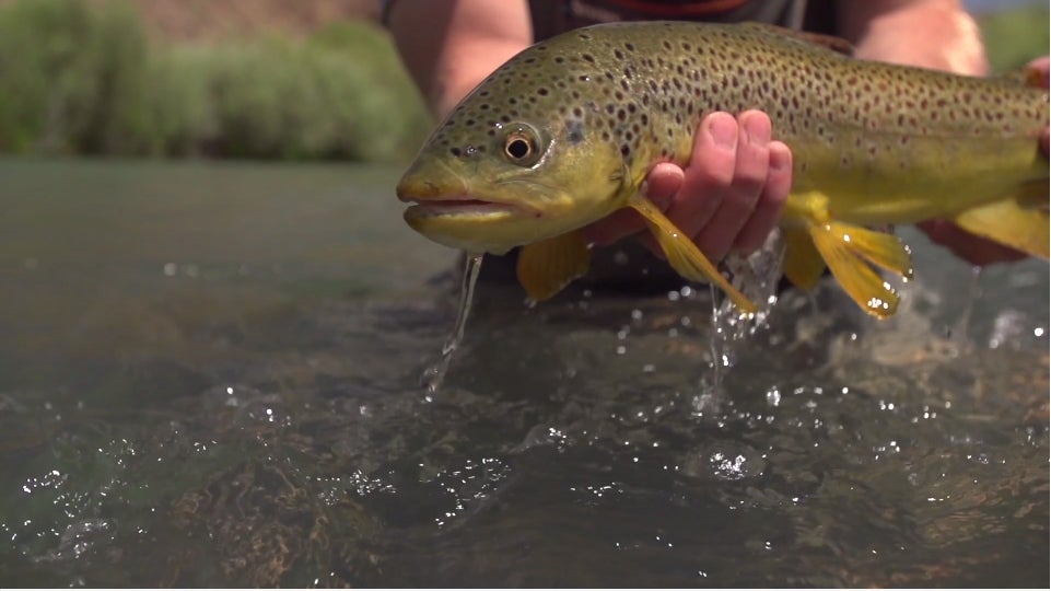 Video: Buck Nasty Brown Trout? Yes, Please